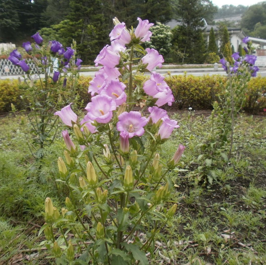 上川霊園入口ロータリー付近のつりがね草