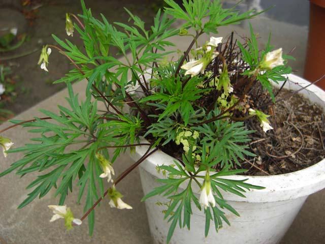 ニオイスミレ:ナポレオンが愛した花